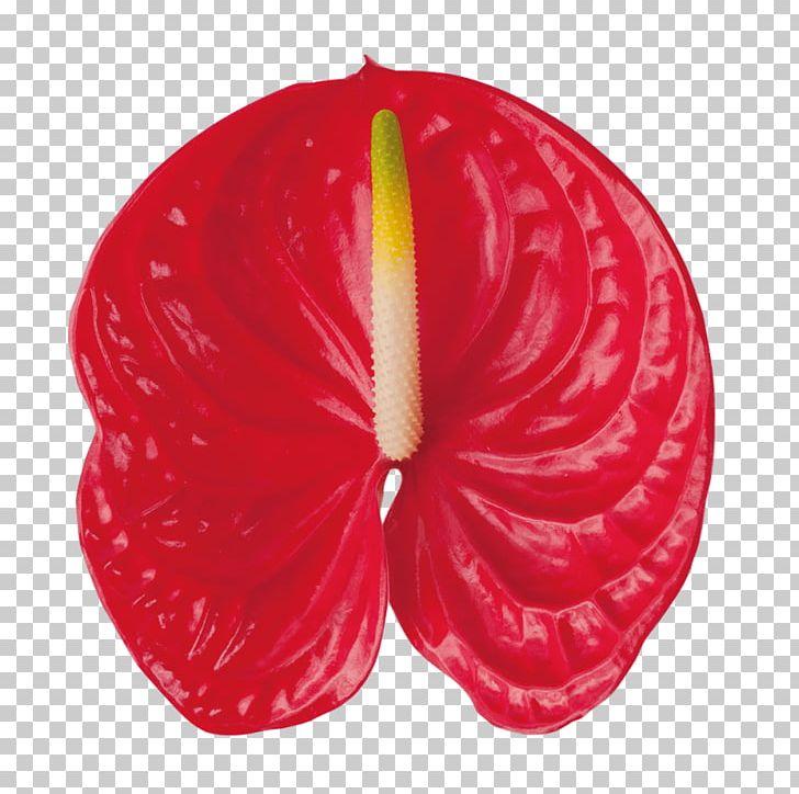 Flower Houseplant Petal Anthurium Andraeanum Garden Roses.