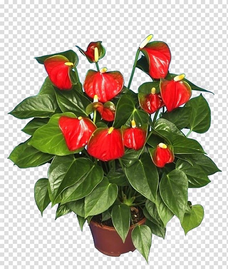 Anthurium andraeanum Houseplant Flower Shoeblackplant, plant.