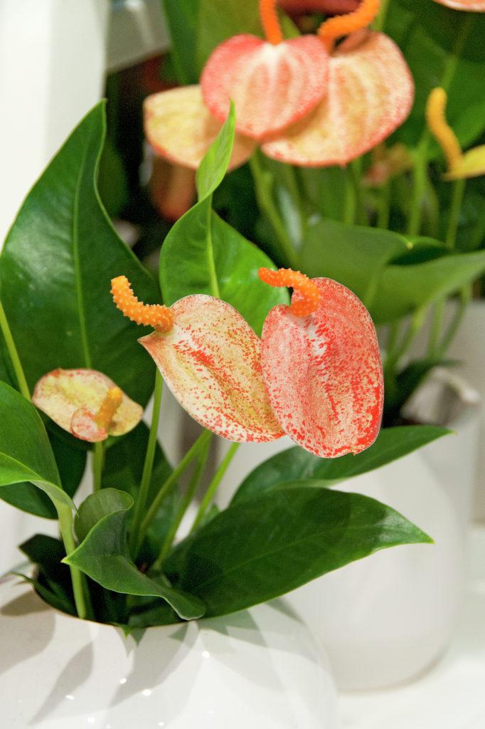 Anthurium leuconeurum Lern. — Антуриум белонервный..