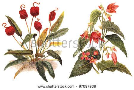 Anthurium scherzerianum clipart #4