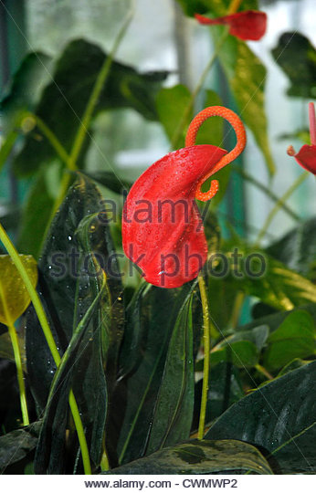 Anthurium Scherzerianum Stock Photos & Anthurium Scherzerianum.