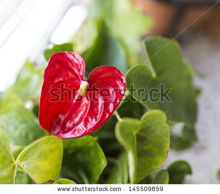 Anthurium Scherzerianum Stock Photos, Royalty.