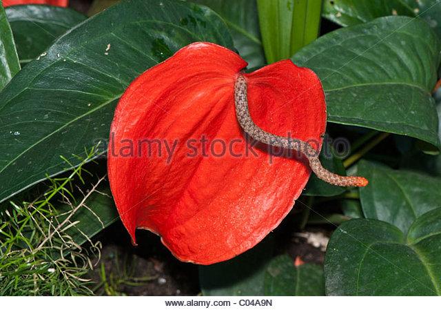 Anthurium scherzerianum clipart #8