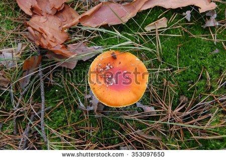 Stinkhorn Fungus Stock Photos, Royalty.