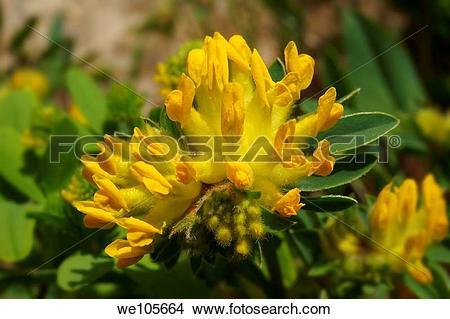 Stock Photo of Alpine Kidney Vetch anthyllis vulneraria.