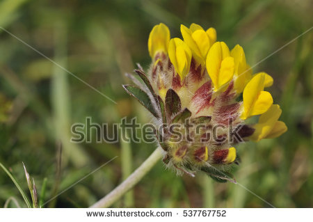 Vetch Stock Photos, Royalty.