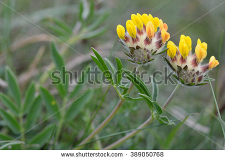Kidney Vetch (Anthyllis Vulneraria). Flower Heads Of A Low Growing.