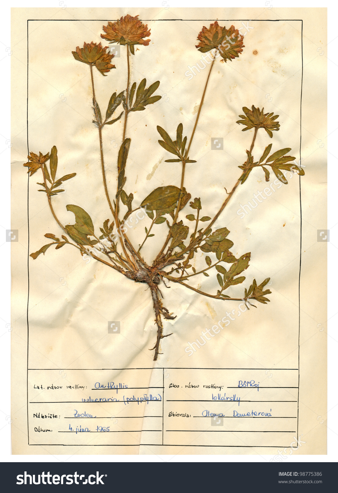 Herbarium Sheet Pressed Plant Anthyllis Vulneraria Stock Photo.