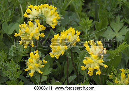 Stock Photography of DEU, 2008: Kidney Vetch (Anthyllis vulneraria.