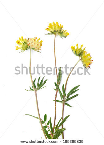 Anthyllis Stock Photos, Royalty.