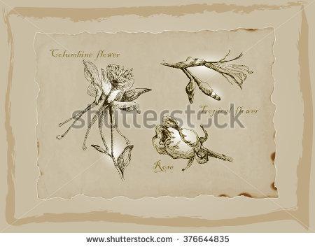 Herbarium Sheet Pressed Plant Anthyllis Vulneraria Stock Photo.