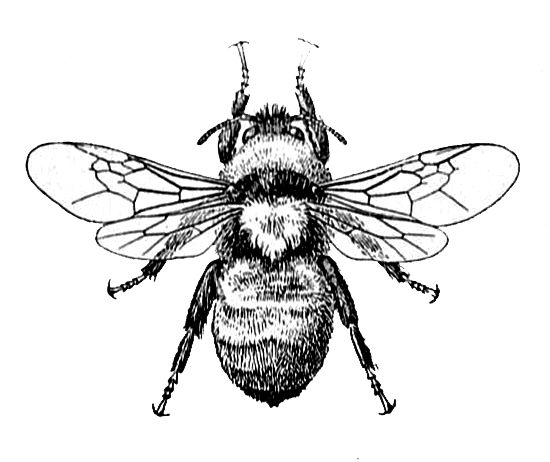 Vintage Bee Clipart.