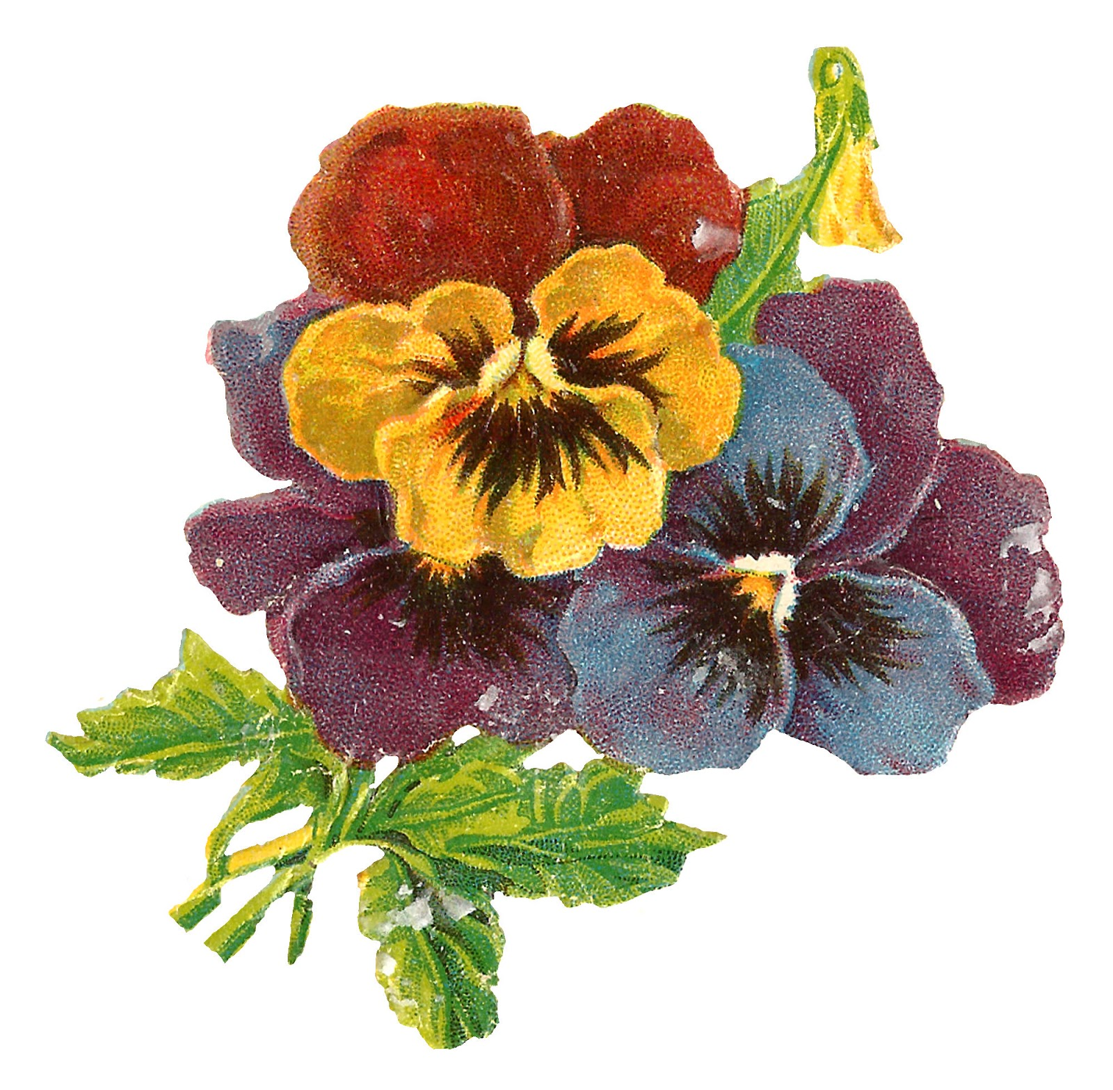 Antique Images: Antique Wildflower Art Illustration Pansy.