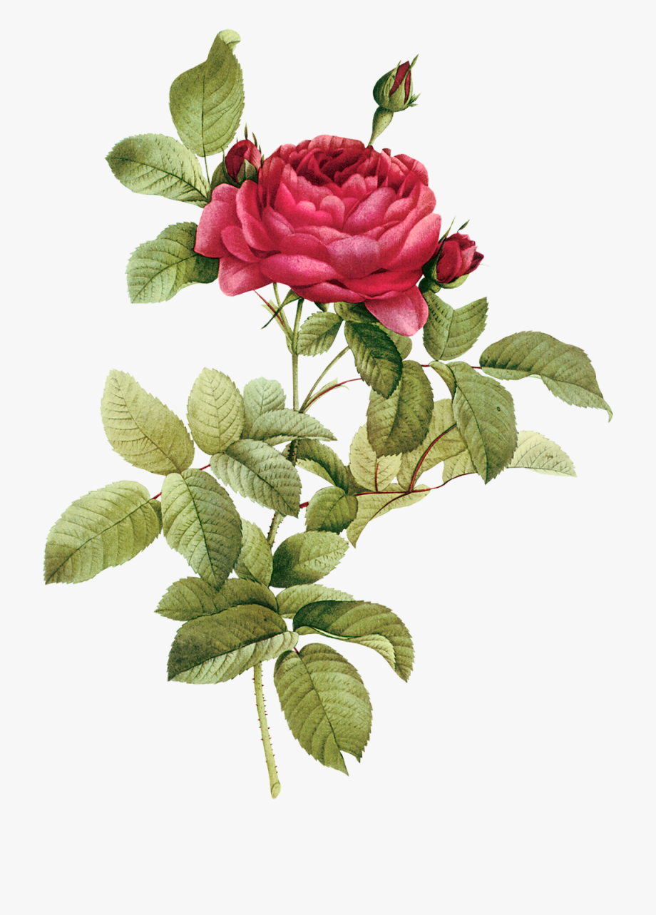 Flower Clipart, Botanical Flowers, Realistic Drawings.
