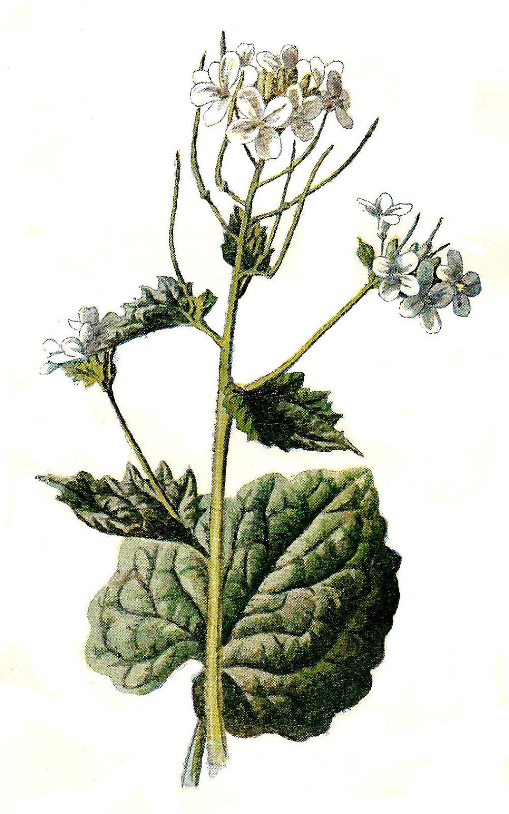 Antique Image: Stock Wildflower Image Botanical Flower Clip.