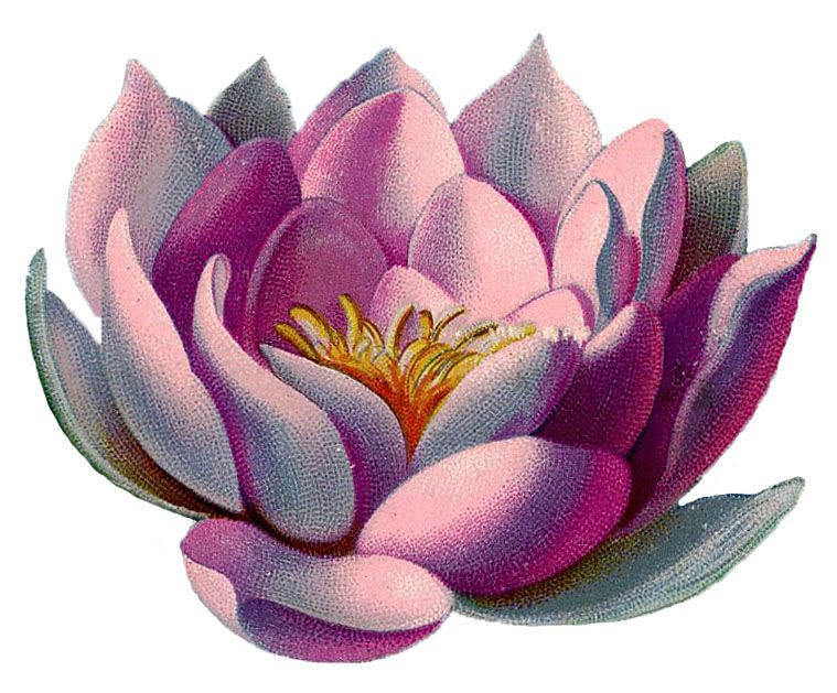 12 Water Lily Images.