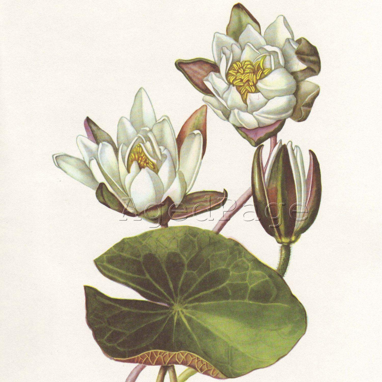 Vintage Botanical Print, Flower Illustration to Frame, White.