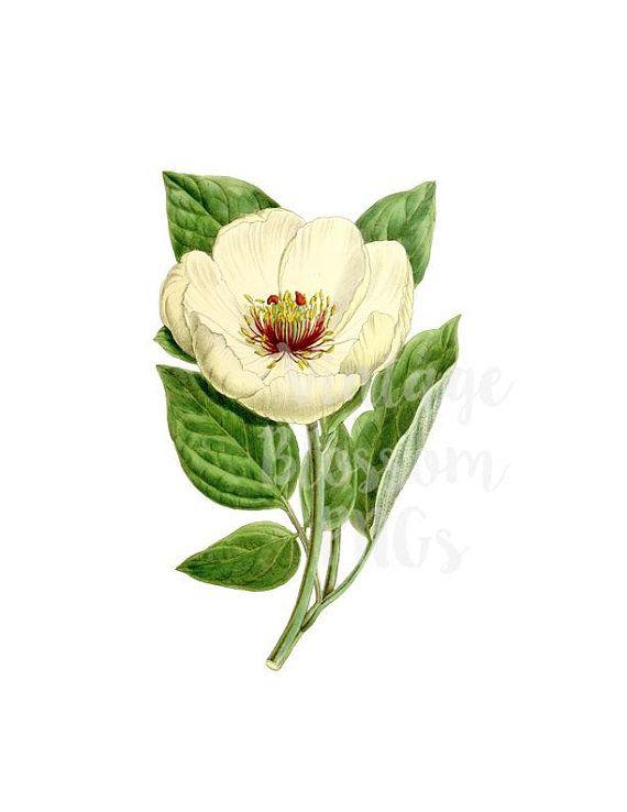 White FLower Clipart Magnolia Vintage Illustration, Digital.