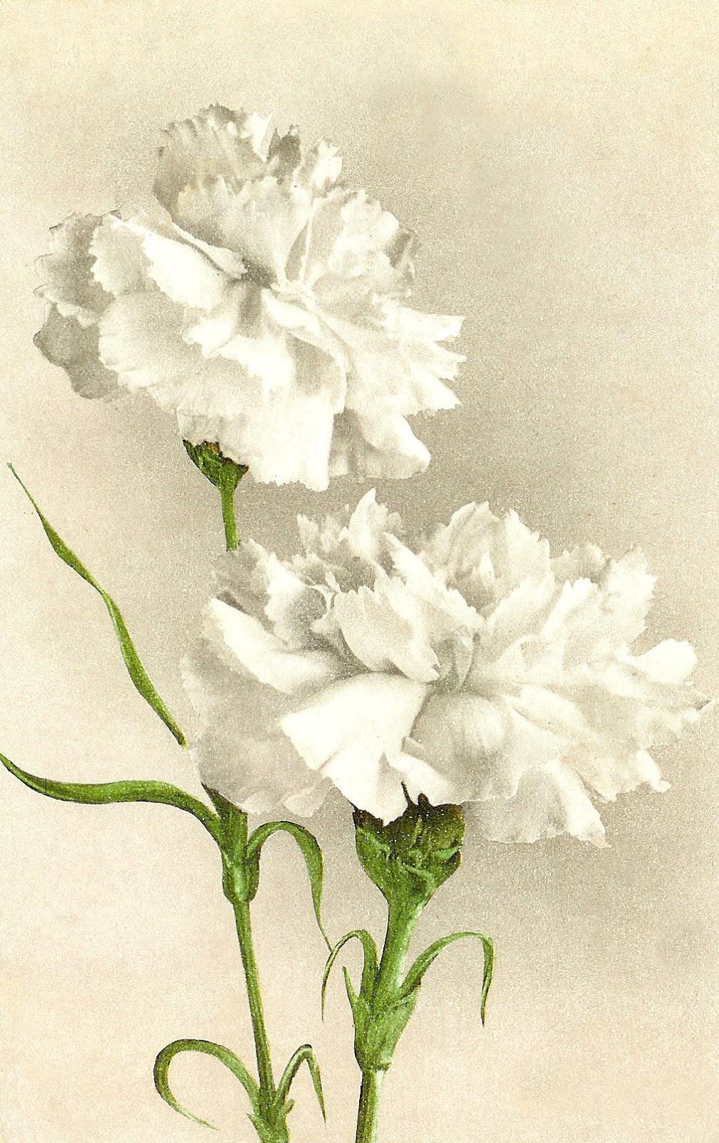 Antique Image: Vintage Flower Clip Art: White Carnation on.