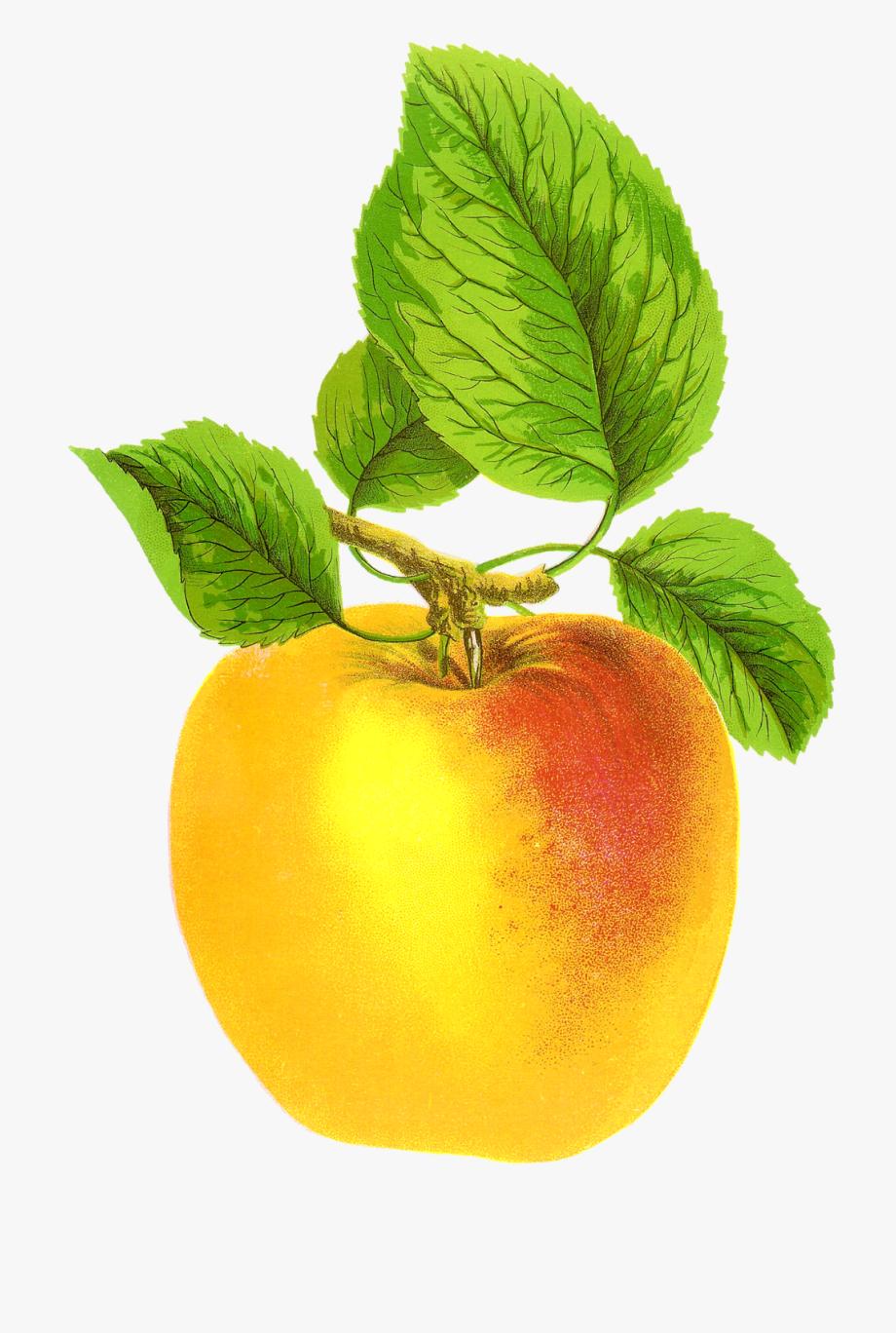 Free Digital Fruit Images Vintage Clip Art Apple Grime\'s.
