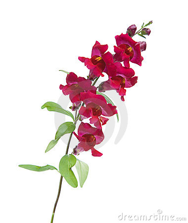 Snapdragon Stock Photos, Images, & Pictures.