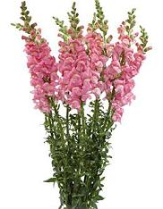 Free Snapdragon Clipart.