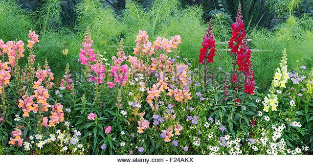 Flowers Petal Snapdragon Stock Photos & Flowers Petal Snapdragon.