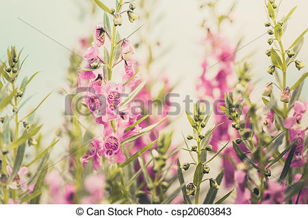 Stock Photo of Antirrhinum majus or Snapdragons or Dragon flowers.