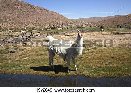 Pictures of Llama (Lama Glama), Machuca, Antofagasta Region, Chile.