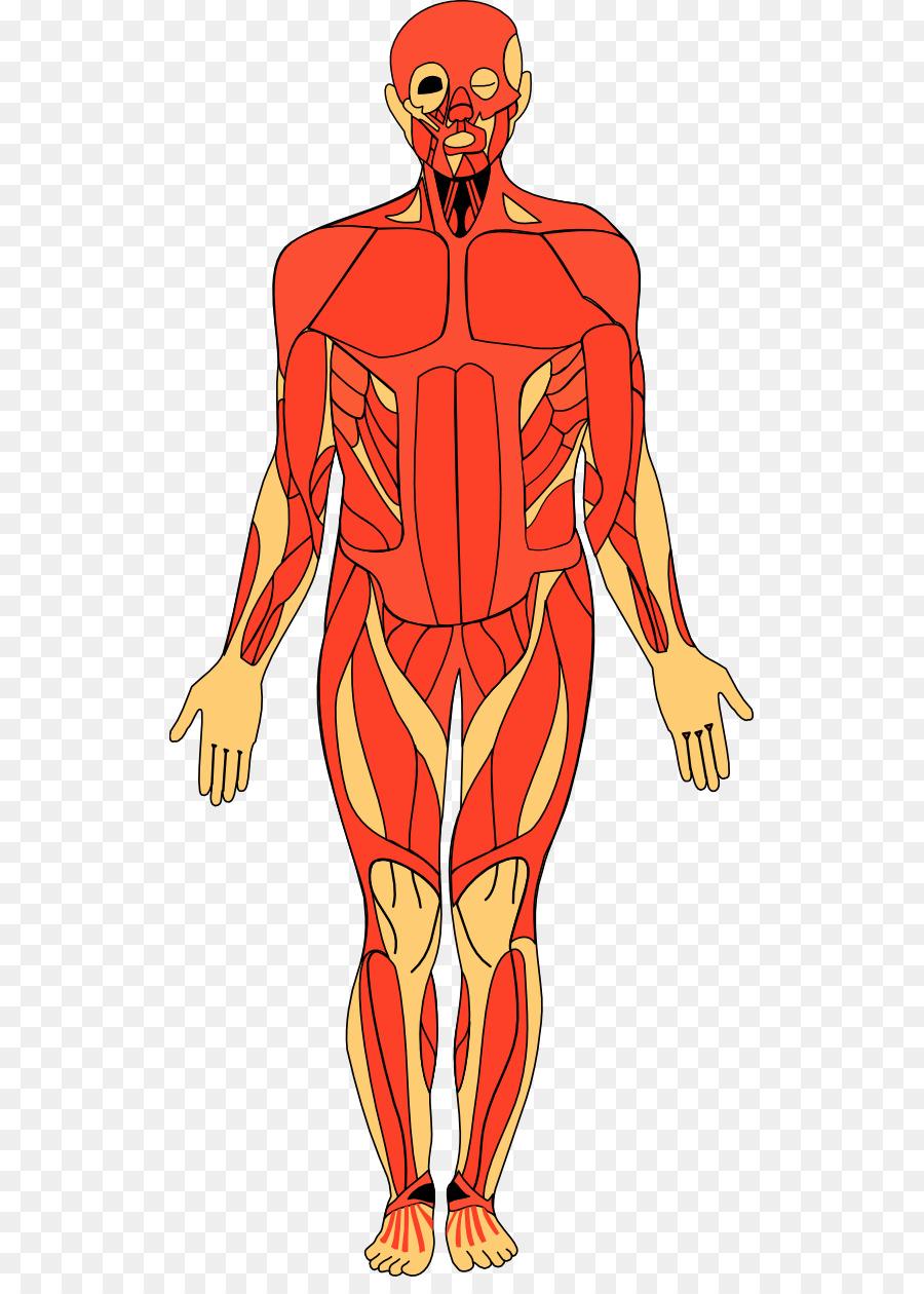 Body clipart anatomy, Body anatomy Transparent FREE for.