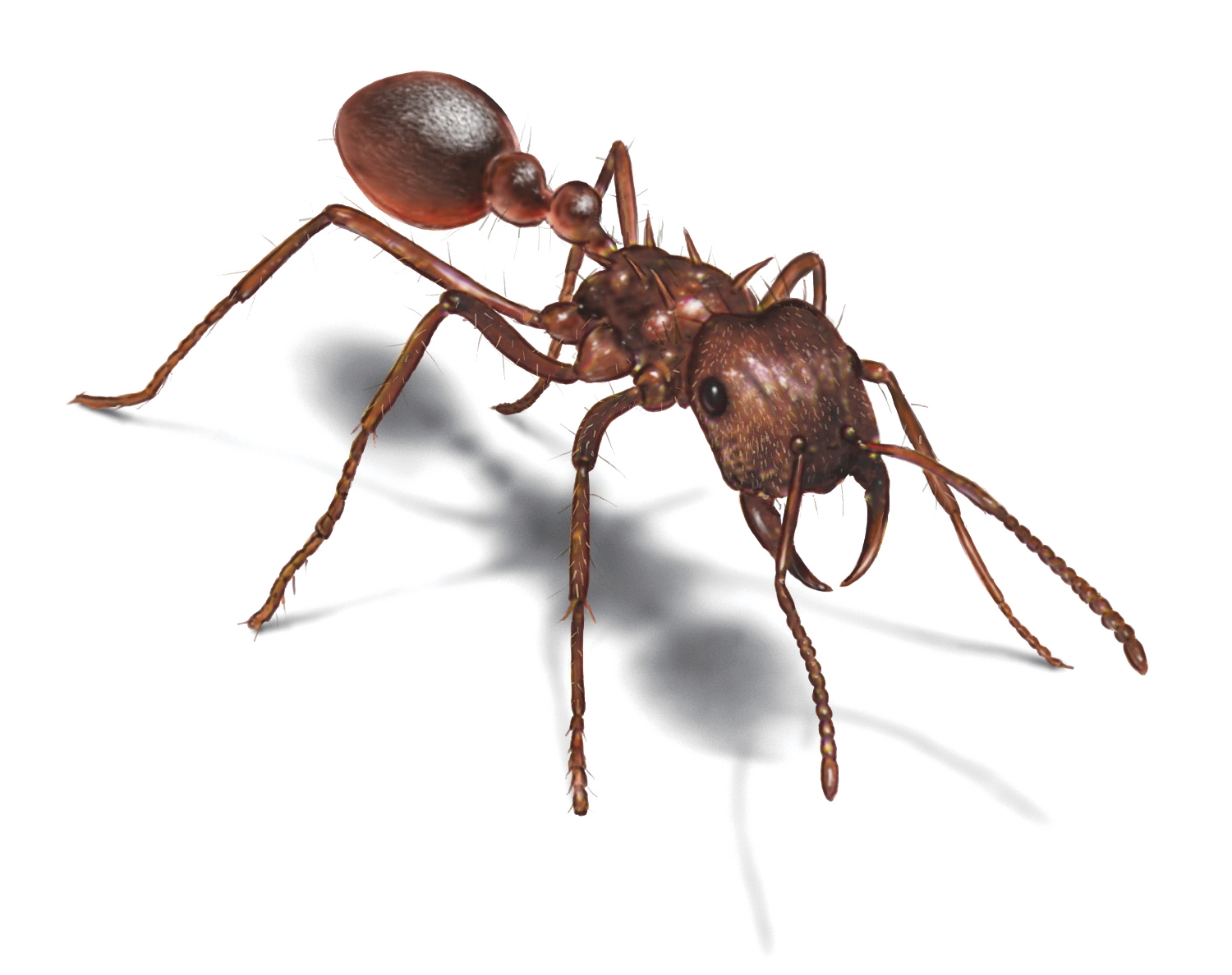Ants clipart leaf cutter ant, Ants leaf cutter ant.