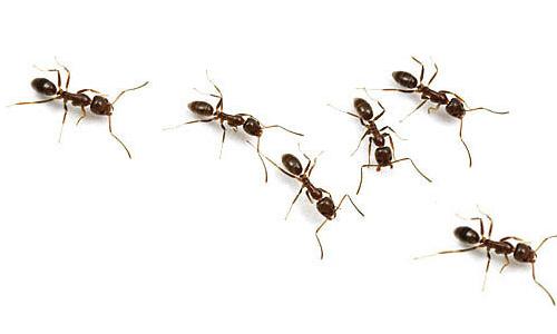 Ants #38538.