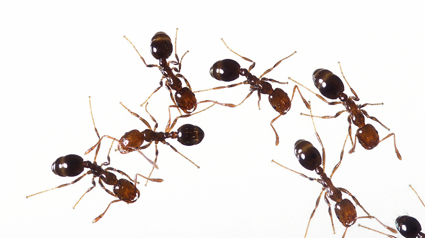 Ants PNG Photo Background.