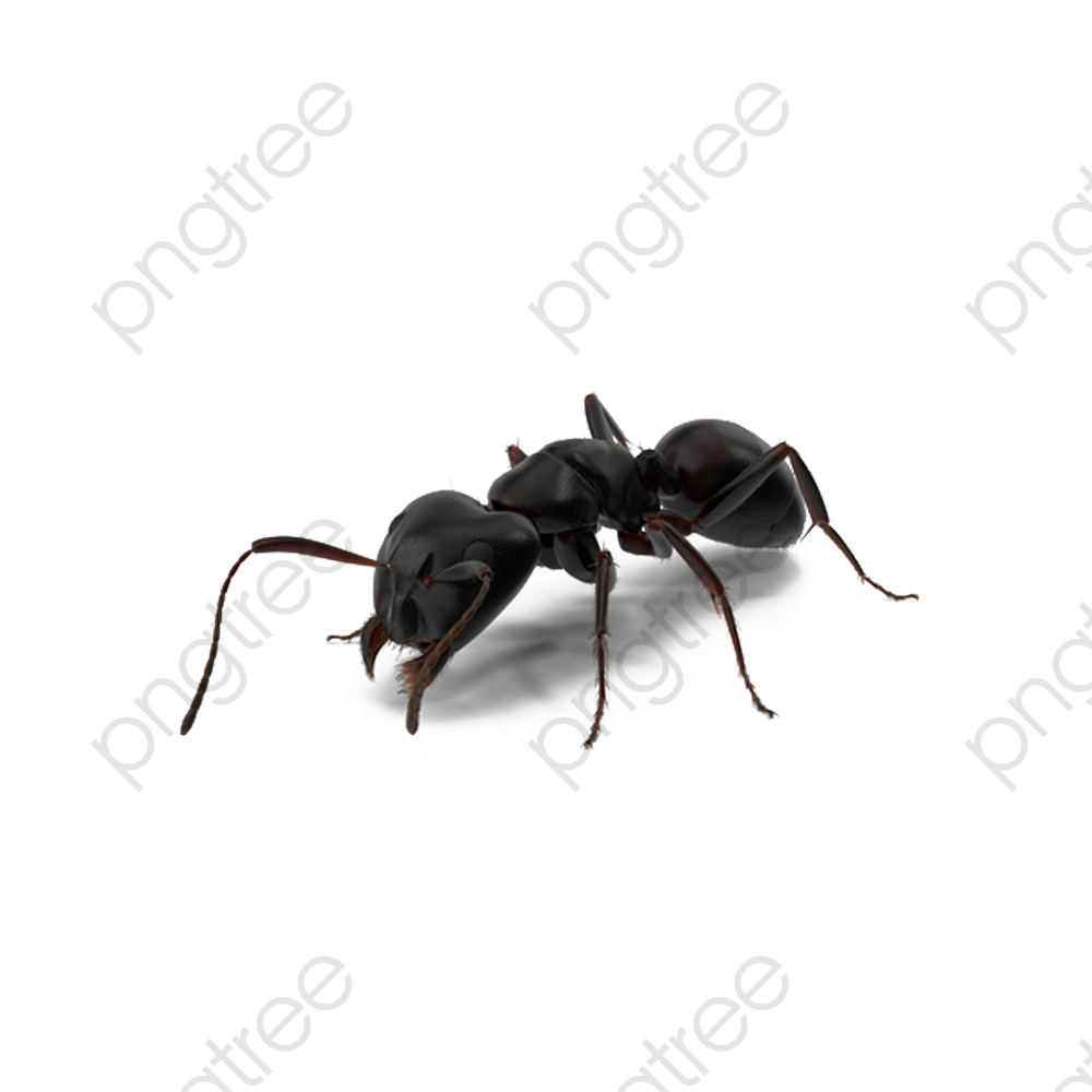Black Ants, Black, Ant, Insect PNG Transparent Image and Clipart for.