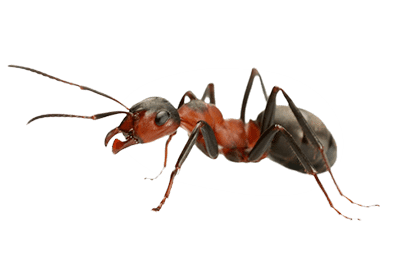 Ants PNG images free download, ant PNG.