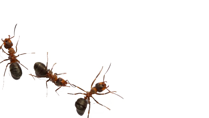 Ants PNG Free Download.