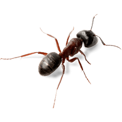 Ant Top View transparent PNG.