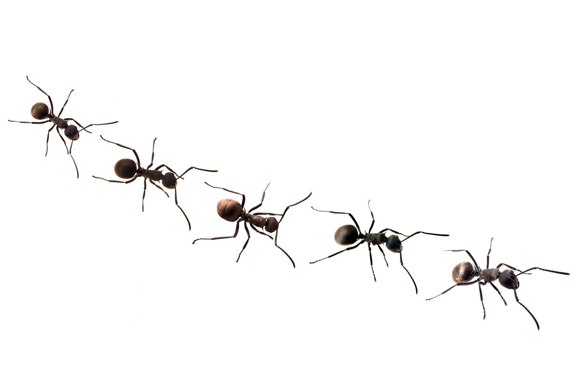 Line Of Ants Clipart.