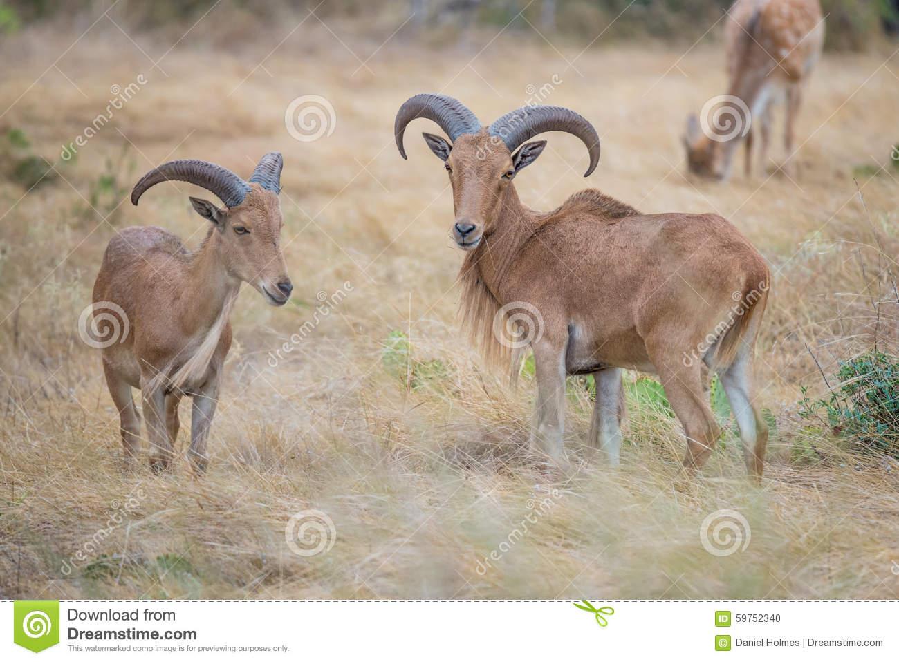 Aoudad Ram And Ewe Stock Photo.