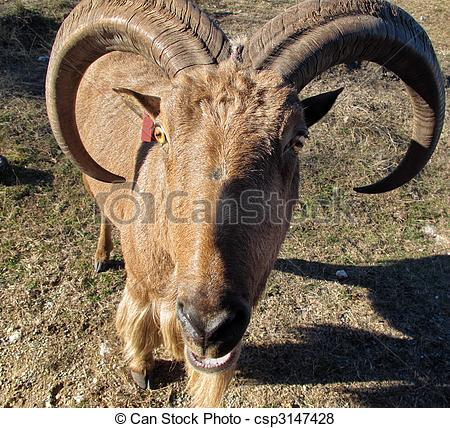 Aoudad Images and Stock Photos. 143 Aoudad photography and royalty.