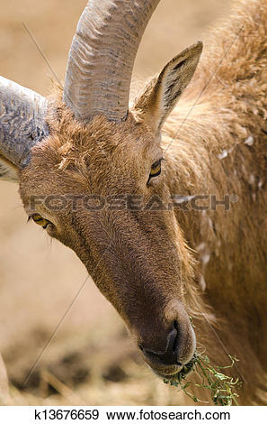 Stock Photograph of Portrait of a Barbary sheep, the only wild.