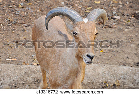 Stock Photo of Barbary sheep k13316772.