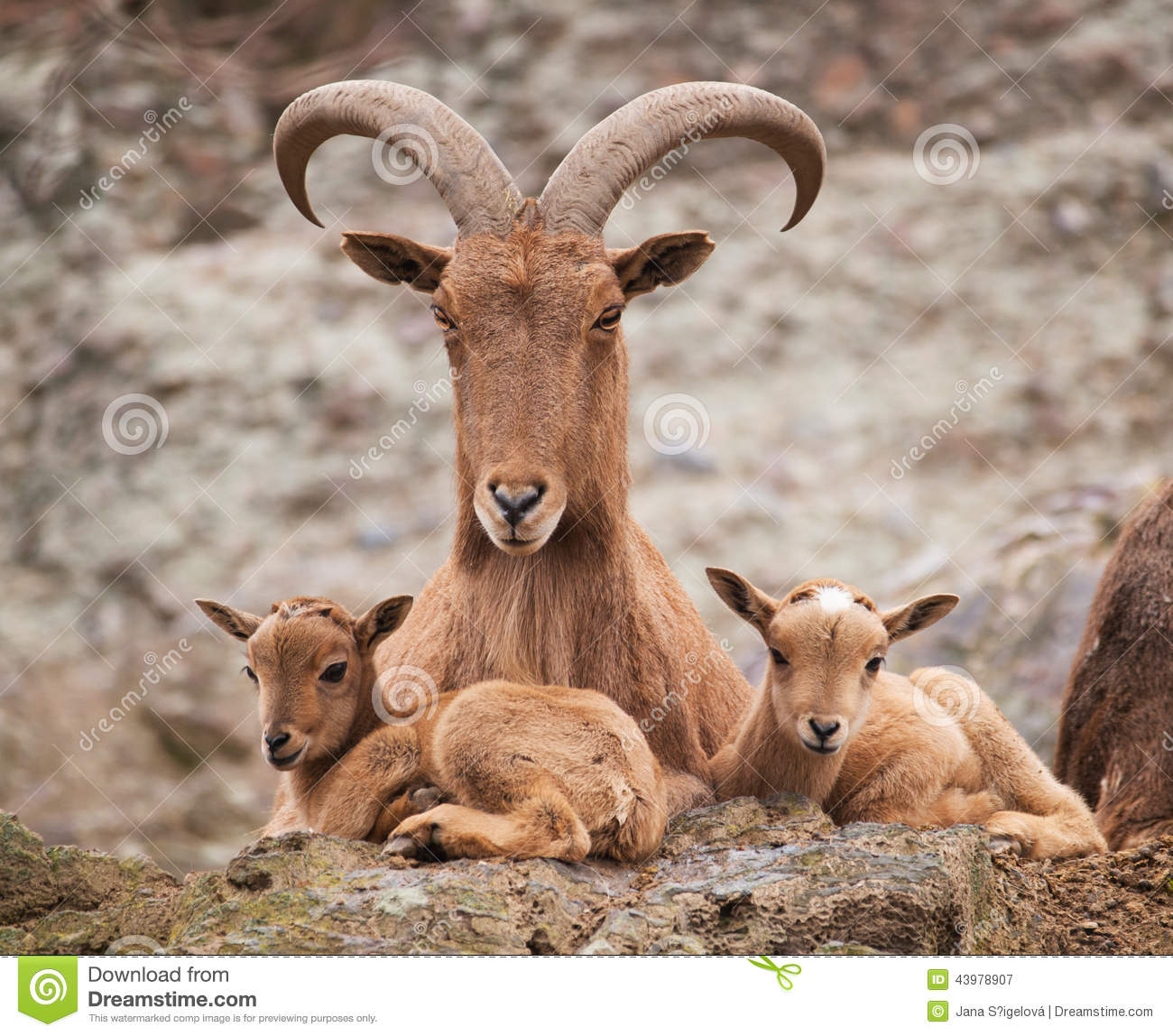 Barbary Sheep Mother With Twin Lambs Stock Photo.