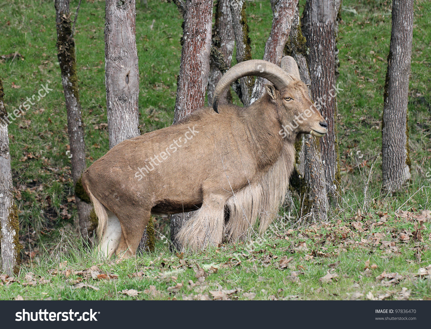 Big Horn Aoudad Or Barbary Sheep In Woods Stock Photo 97836470.