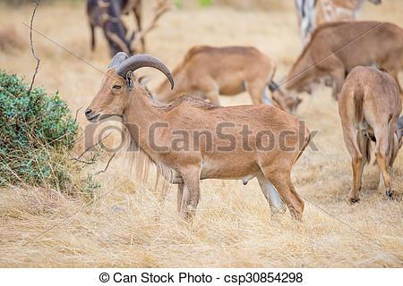 Stock Photographs of Aoudad sheep.