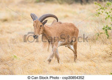 Stock Images of Barbary Sheep.