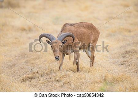 Stock Photo of Barbary Sheep.