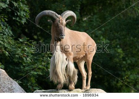 Aoudad Sheep Stock Photos, Royalty.