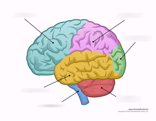 Biological Bases of Behavior AP Psych Diagram.