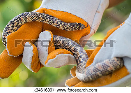 Picture of Lampropeltis getula meansi, commonly known as.
